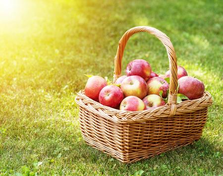 Zbiory jabłek. Dojrzali czerwoni jabłka w koszu na zielonej trawie.