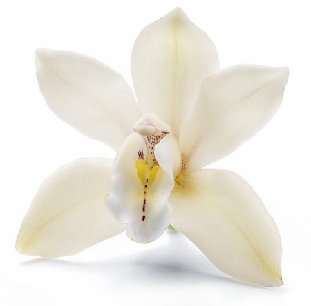 Vanilla orchid vanilla flower isolated on white