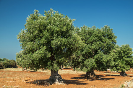 Mediterranean olive plantation with an old olive tree in the foreground. Stock Photo