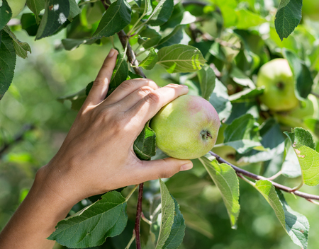 Apple picking. Female hand gathering apple from a tree.