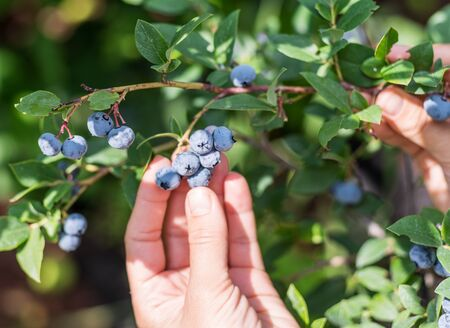 Close-up of female hands picking blueberries