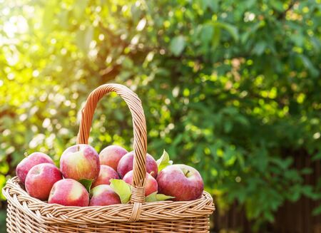 Apple harvest. Ripe red apples in the basket on the table. Autumn garden at the background.