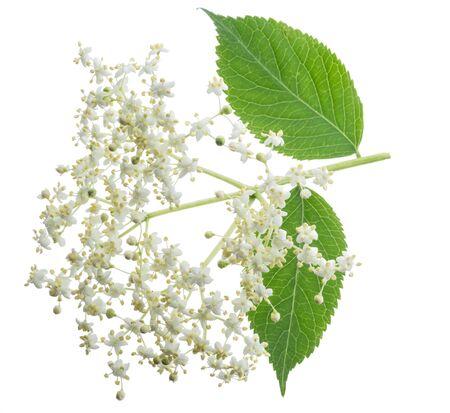 Holunderblütenstand isoliert auf weiß Standard-Bild
