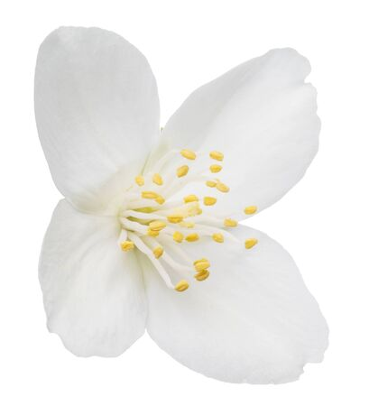 Tender jasmine flower on white background. File contains clipping path.