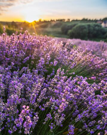 Colorful flowering lavandula or lavender field in the dawn light. A light morning mist at the background.