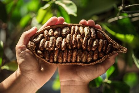 Cocoa pods with dry cocoa beans in the male hands. Nature background.
