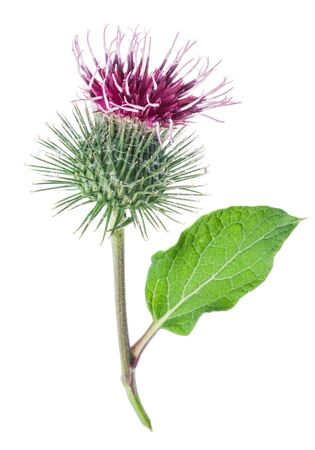 Prickly heads of burdock flowers isolated on white background. Banco de Imagens