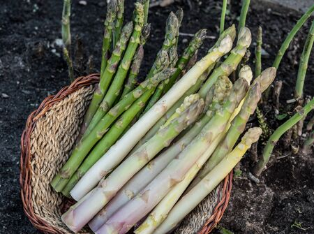 Harvest of white and green asparagus in wicker basket. Nature background.