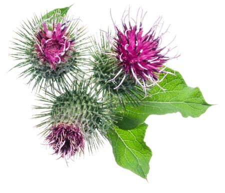 Prickly heads of burdock flowers isolated on white background. Stock Photo