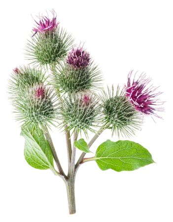 Prickly heads of burdock flowers isolated on white background.