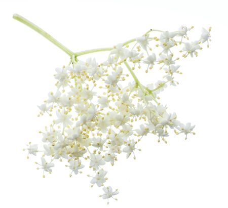 Elderberry inflorescence isolated on white background.