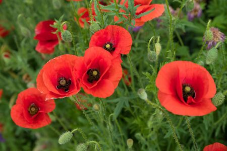 Amapolas florecientes en el campo. Imagen de primer plano de flores de amapola.
