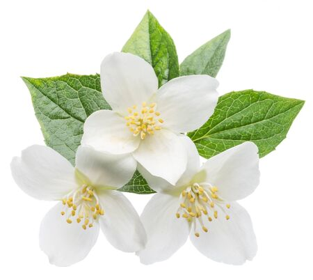 Blooming jasmine flower branch with jasmine leaves isolated on white background. Clipping path.