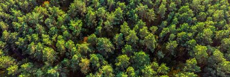 Aerial panoramic view of evergreen pine forest.