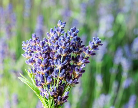 Bunch of fresh lavandula in man's hand. Field of young lavender flowering plants at the background. 스톡 콘텐츠
