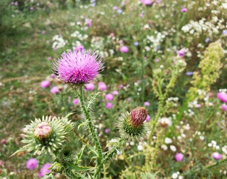 Blooming flower heads of milk thistle. Nature background.