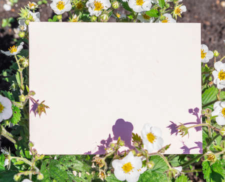 Paper blank between strawberry flowering bushes. Strawberry flowers and leaves as a frame.