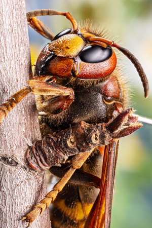 Macro shot of hornet insect in nature. Top margin of the head and all body details are well seen on the picture.