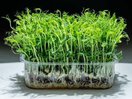 Sprouted seeds of pea on white table