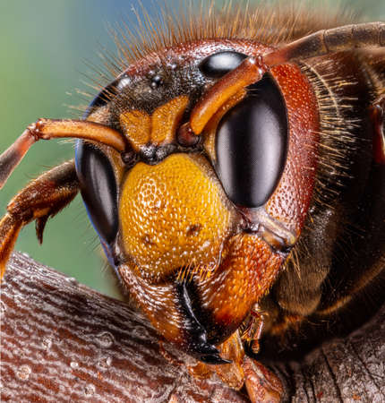 Micro shot of hornet insect. Top margin of the head and part of head details are well seen on the picture. Фото со стока