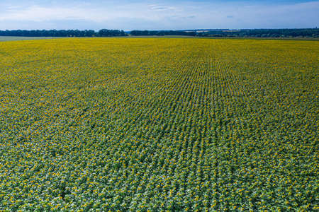 Panoramic view of sunflower field. Top view of sunflower heads.