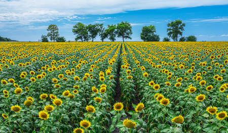 Panoramic view of sunflower field and blue sky