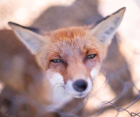 Red fox face close up. Blurred autumn nature at the background. Фото со стока