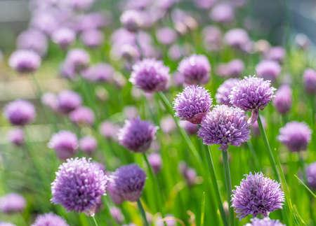 Allium blooming purple onion plant. Nature background.