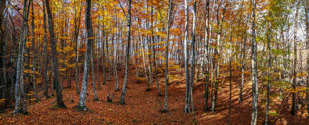 Beautiful autumn panorama. Colorful yellow and red leaves on the trees and as a carpet on the ground. Фото со стока