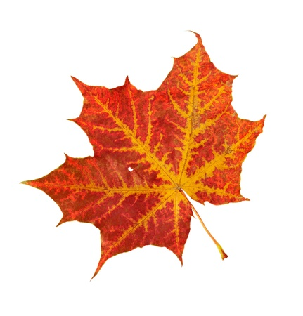 Red leaf of a maple on a white background Stock Photo