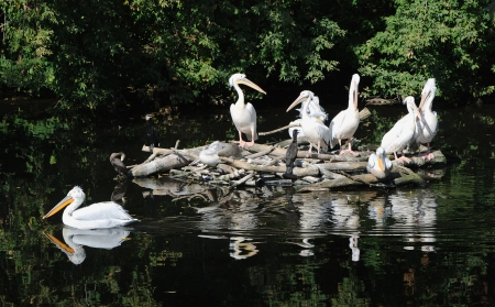 The group of pelicans sits in the middle of a pond Stock Photo
