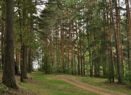 Path in the pine avenue Stock Photo - 16779486