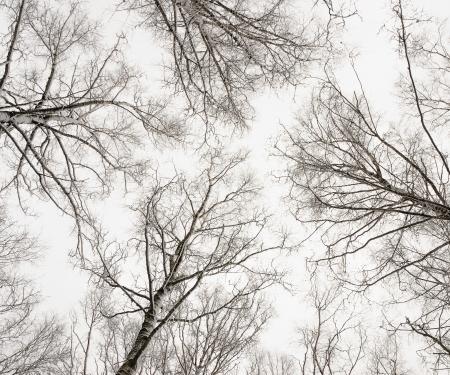 Winter birches bottom view photo