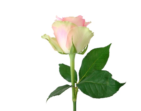 Bud of a pink rose isolated on white