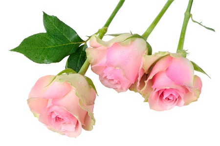Three wet pink roses isolated on white Stock Photo
