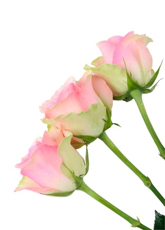 Three wet pink roses isolated on white Stock Photo - 18653617