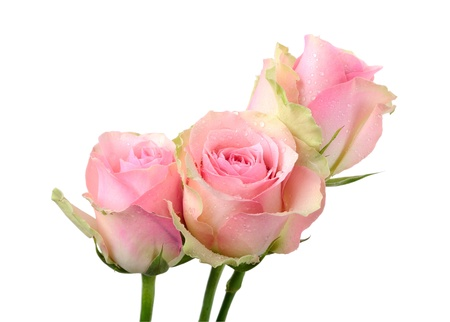 Three wet pink roses isolated on white photo