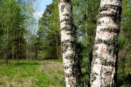 Trunks of birch trees in the foreground in the spring forest photo