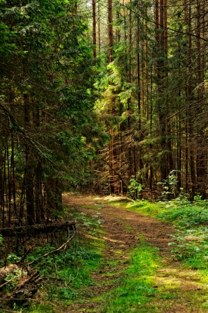 The path in the forest of conifers photo