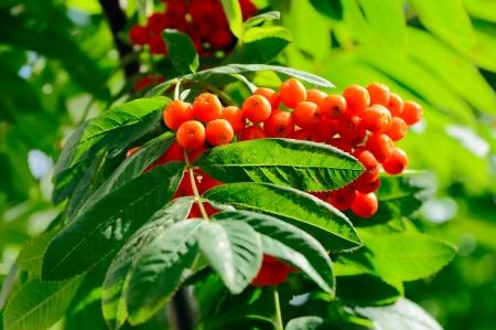 bunchy: Closeup of rowan berries cluster