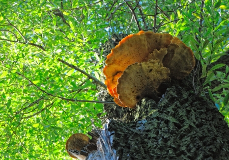 火口菌古い柳の木を下から見る