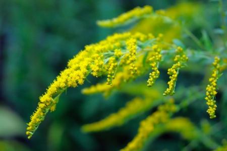 Flowering goldenrod in August, closeup