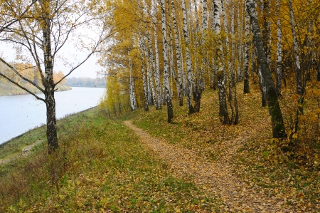 Birch with yellow leaves on the river bank photo