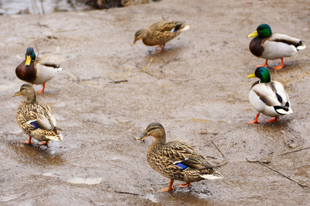Mallard ducks on the wet shore  Stockfoto
