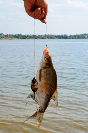 Bream on a hook,  out of the water