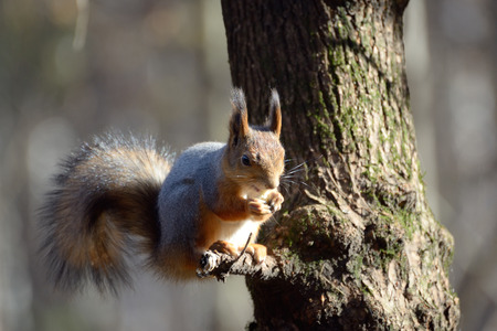 Red squirrel sits on a tree in park and eats photo