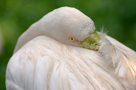 Greater flamingo cleans feathers closeup photo