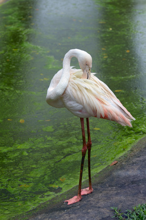 Greater flamingo is preening its feathers on the edge of the pond
