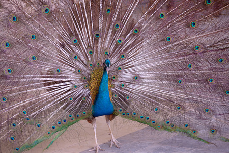 blue peafowl: Indian Blue Peafowl with open tail