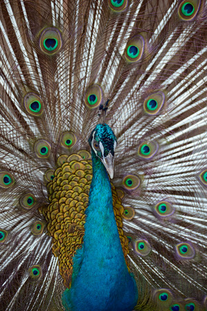 indian blue: Indian Blue Peafowl with open tail closeup